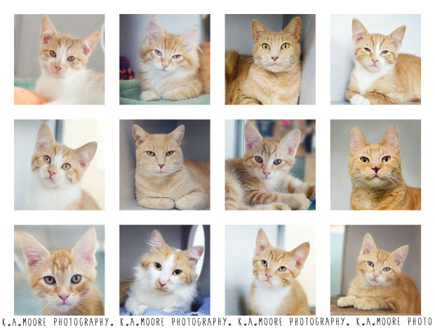 Ginger Kitties - Copyright K.A.Moore Photography. All Rights Reserved.