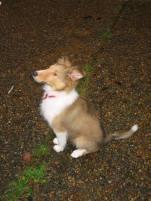 Phoenix puppy